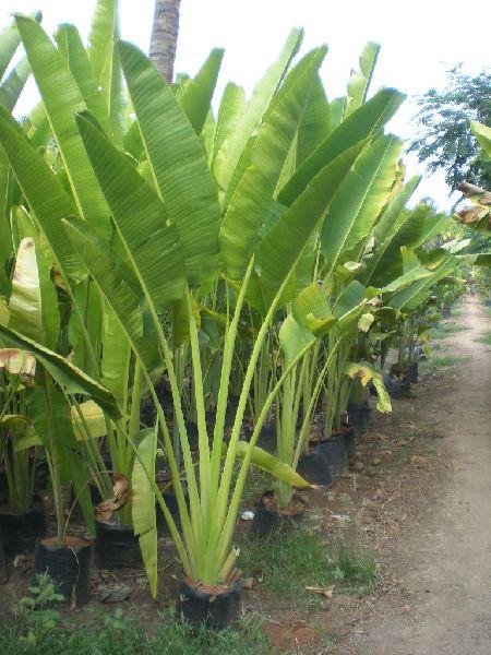 Travelers Palm Plant