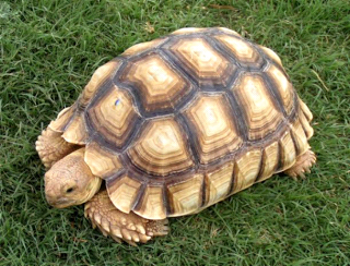 Baby Sulcata Tortoises For Sale Manufacturer Exporters From Cameroon Id 1795087