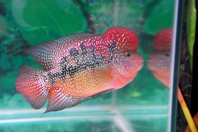 Red dragon flowerhorn fish manufacturer manufacturer for Dragon fish for sale
