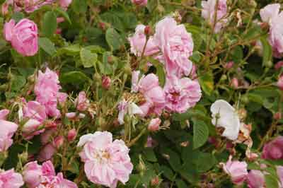 Rose oil manufacturer manufacturer from kannauj india id 94518 - Rose essential oil business ...