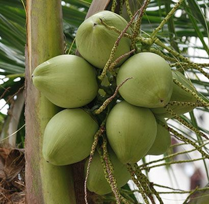 young coconut by Gir Kesari Export Import Pvt Ltd, coconut, from Junagadh |  ID - 282047