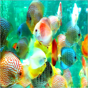 ornamental fishing in india Approved units seafood processing units in india are approved by the export inspection council of india approvals are given as either units eligible to export to european union or as units eligible to export to countries other than european union.