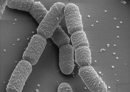 Phosphate Solubilizing Bacteria (JL006)