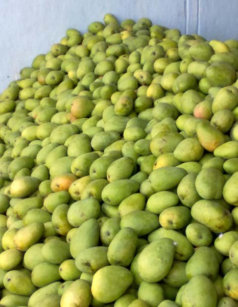 Mangoes Manufacturer in Telangana India by Andhra Fruit Company   ID
