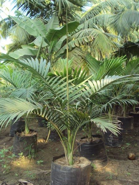 Alexandra Palm Plant Manufacturer in Rajahmundry Andhra ...