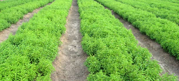 Stevia Contract Farming Manufacturer & Exporters from, India | ID ...