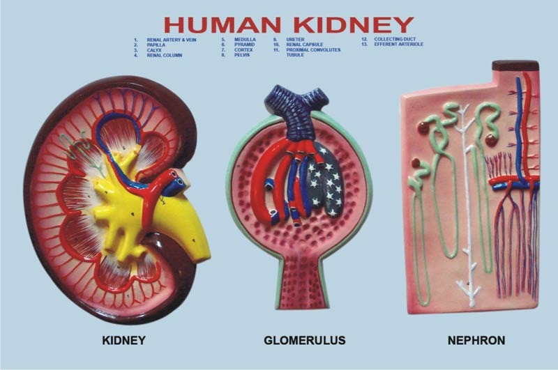 Kidney Section Model Manufacturer in Ambala Haryana India ...