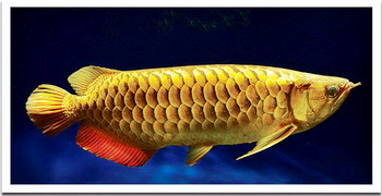 Golden asian arowana