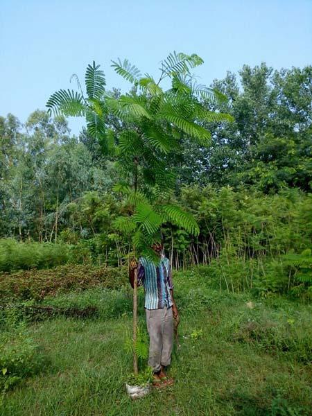 Delonix Regia Plants