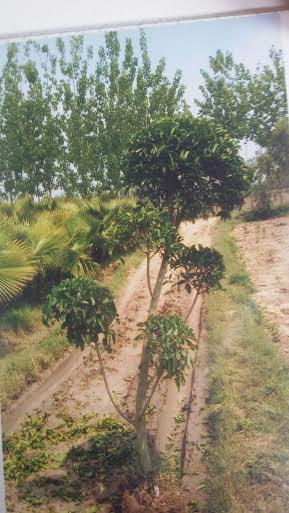 Ficus Retusa Topiary Plants