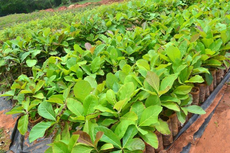 Saag Teak Wood Plants Manufacturer In Goregaon Maharashtra