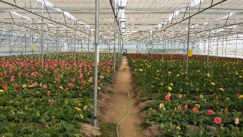 Services Gerbera Cultivation In Polyhouse In Jalandhar Offered By Srijagat Poly House Co Id 1365450