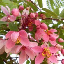Pink Cassia Tree Seeds