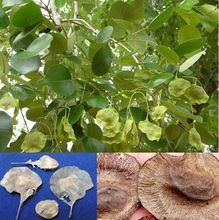 Sandal Forestry Tree Seed