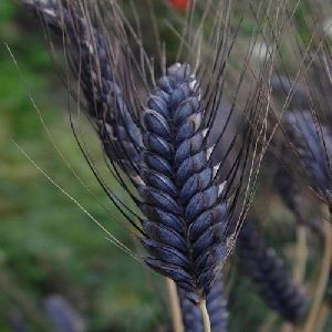 Black Wheat Seeds