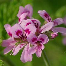 Organic Lavender Geranium Aroma