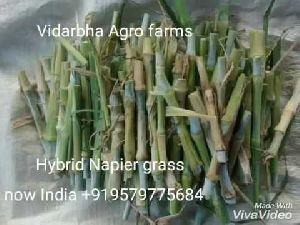 Co4 Hybrid Napier Grass Seeds