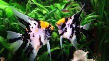 Angle Fish Aquarium