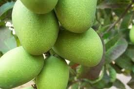 Krishna Bhog Mango Plant