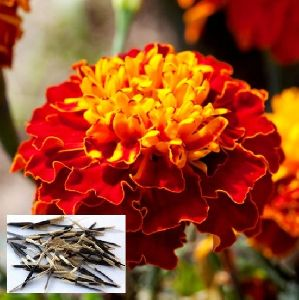 French Marigold Seed
