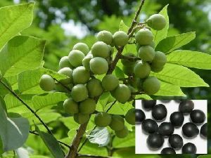 Soapnut Seed
