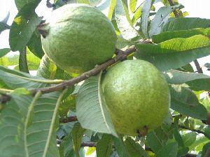 Allahabad Guava Plants