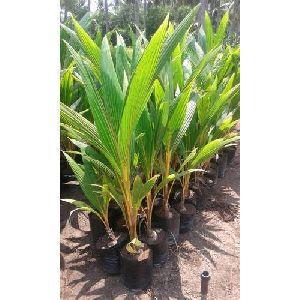 Natural Coconut Plants