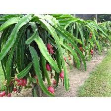 Organic Dragon Fruit Plants