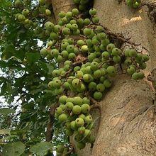 Ficus Racemosa Tree Goolar Seed
