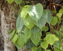 Ficus religiosa bodhi tree pippala peepul peepal
