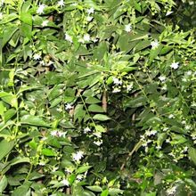 Har Singar Coral Jasmine Nyctanthes Arbor-tristis Har Singar Tree Seed