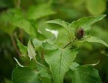 Saussurea Costus Tree Seed
