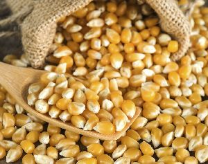 Yellow Maize Corn Kernels
