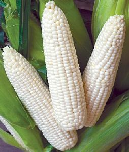 Fresh White Corn