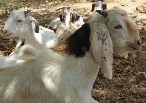 White Sojat Live Farming Goat