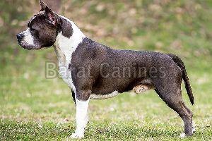 American Staffordshire Terrier Dog