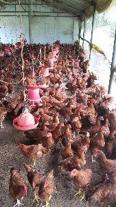 Live Giriraja Chicks