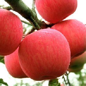 100% Grade A Fresh Fuji Apple Fruit For Sale