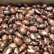 Certified Castor Seeds