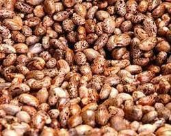 Edible Castor Oil Seeds