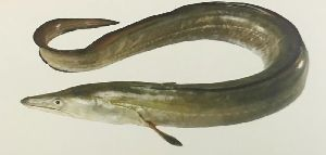 Indian Conger Eel Fish