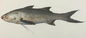 Indian Salmon Fish