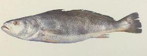 Silver Banded Jewfish