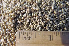 Pearl Millet