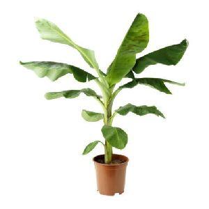 Nursery Banana Plant