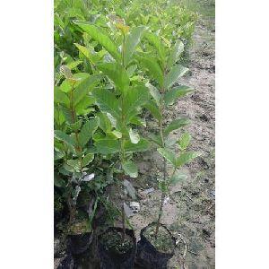 VNR Guava Plant