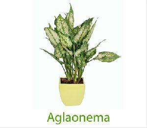 Aglaonema White