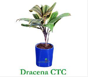 Dracaena Ctc