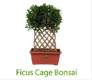Ficus Cage Bonsai