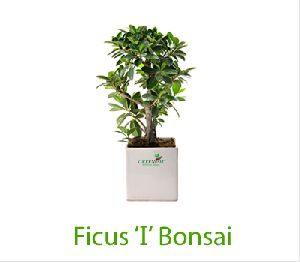 Ficus I Iceland